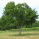 Prunier Mirabelle de Nancy - Vente Arbre Fruitier