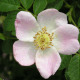 Kit Haie Parfumée - Eglantier (Rosa Canina)