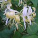 Kit Haie Parfumée - Chèvrefeuille des bois - Grimpant (Lonicera Periclymenum)