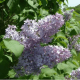 Kit Haie Parfumée - Lilas commun (Syringa Vulgaris)