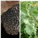 Chêne pubescent melanosporum (Quercus pubescens)