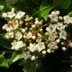 Kit Haie 4 Saisons - Laurier tin (Viburnum Tinus)