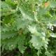 Chêne pubescent uncinatum conteneur de 2 litres (Quercus Pubescens)
