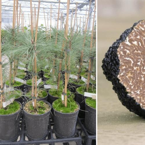 Pin Noir d'Autriche uncinatum (Pinus austriaca)