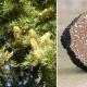 Cèdres de l'Atlas uncinatum (Cedrus atlantica)