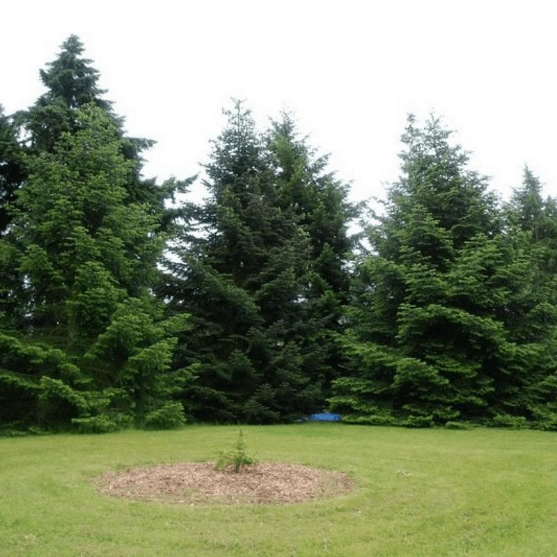 Sapin de turquie abies bornmuelleriana vente arbre et for Arbuste en ligne