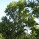 Arbre aux 40 écus (Ginkgo Biloba)