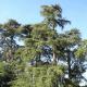 Cèdre vert de l'Atlas (Cedrus Atlantica)
