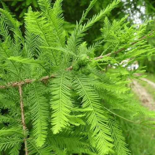 Cyprès chauve (Taxodium Distichum)