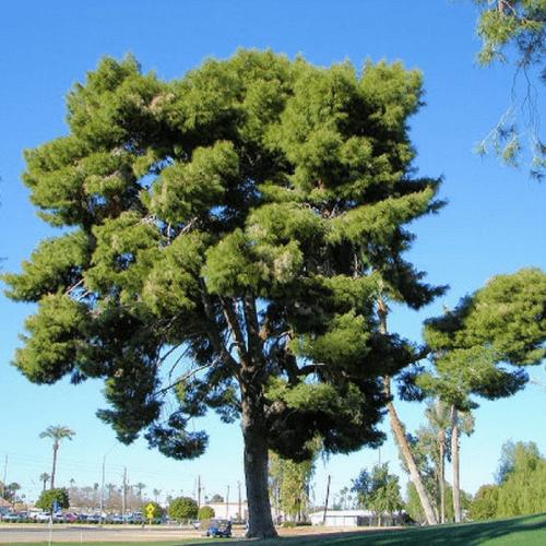 Pin d'Alep (Pinus Halepensis)