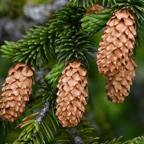 Epicea de sitka (Picea sitchensis)