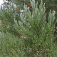 Séquoia géant (Sequoiadendron Gigantea)