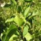 Aulne à feuilles en coeur (Alnus Cordata)