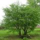 Cornouiller sanguin (Cornus Sanguinea)