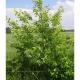 Cerisier tardif (Prunus Serotina)