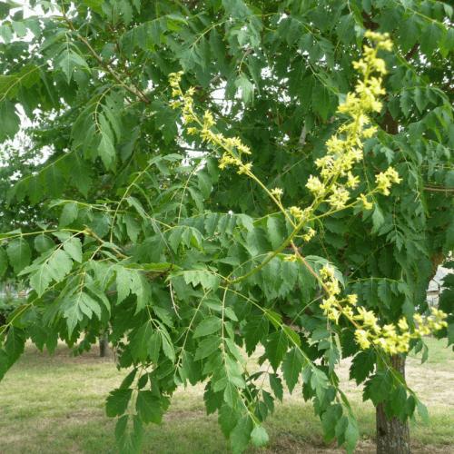 Genévrier (variétés) (Juniperus Sp)