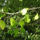 Nerprun purgatif (Rhamnus Cathartica)