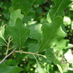 Chêne de Banister (Quercus Illicifolia)