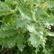 Chêne pubescent (Quercus Pubescens)