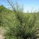 Saule drapé (Salix Rosmarinifolia Ou Eleagnos)