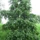 Aulne blanc (Alnus incana)