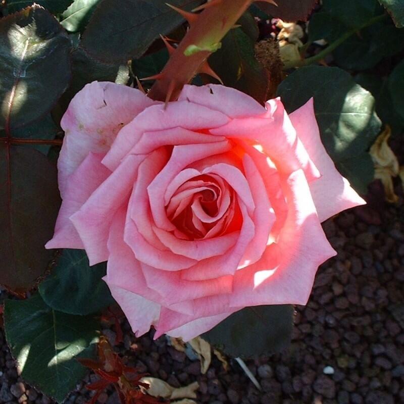 rosier astr e rosier buisson grandes fleurs p pini res naudet. Black Bedroom Furniture Sets. Home Design Ideas