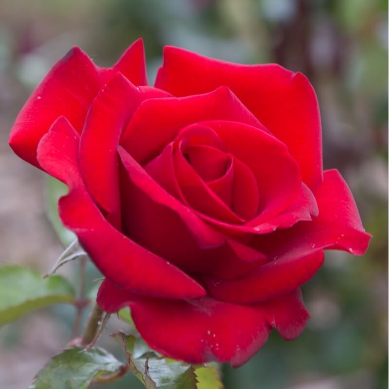Rosier grand huit rosier grimpant grandes fleurs ppinires naudet rosier grand huit rose rouge grandes fleurs rosier grimpant altavistaventures Gallery