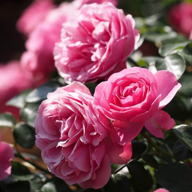 rosier l onard de vinci rosier grimpant fleurs group s p pini res naudet. Black Bedroom Furniture Sets. Home Design Ideas