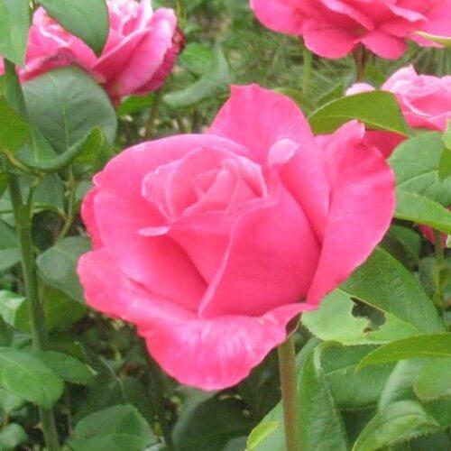 Rosier Parfum Royal ®- Rose Fuschia - Grandes Fleurs
