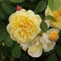 Rosier Golden Delight - Rose Jaune Pur - Fleurs Groupés