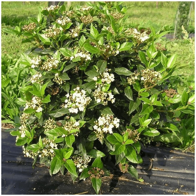 Arbuste Persistant Pour Pot kit haie brise vue pour balcon ou terrasse - arbustes pour