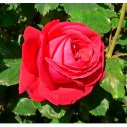 Rosier Anastasia - Rose Blanche Crème Au Coeur Jaune - Grandes Fleurs