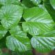 Collection 4 Arbres - Tilleul à grandes feuilles (Tilia Platyphyllos)