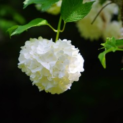 Boule de Neige (Viburnum Opulus Roseum)