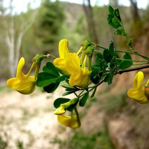 Coronille arbrisseau - Caduque - (Coronilla Emerus)