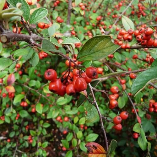 Cotoneaster franchetti (Cotoneaster franchetti)