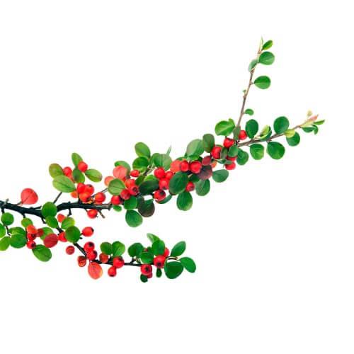 Cotoneaster rampant (Cotoneaster horizontalis)