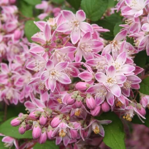Deutzie perle rose (Deutzia perle rose)