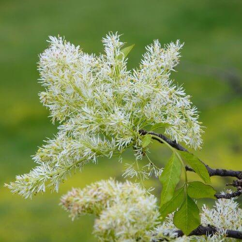 Frêne à fleurs (Fraxinus Ornus)