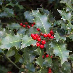 Houx commun (Ilex Aquifolium)