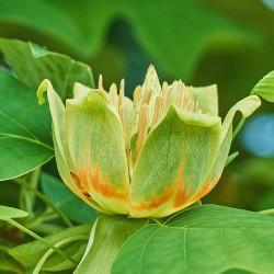 Tulipier de Virginie (Liriodendron Tulipifera)