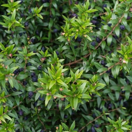 Myrte commun (Myrtus Communis)