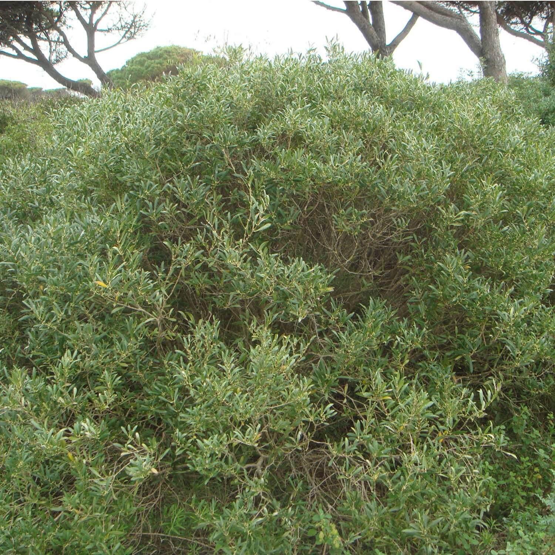 filaire à feuilles étroites : vente arbre et arbuste | pépinières naudet