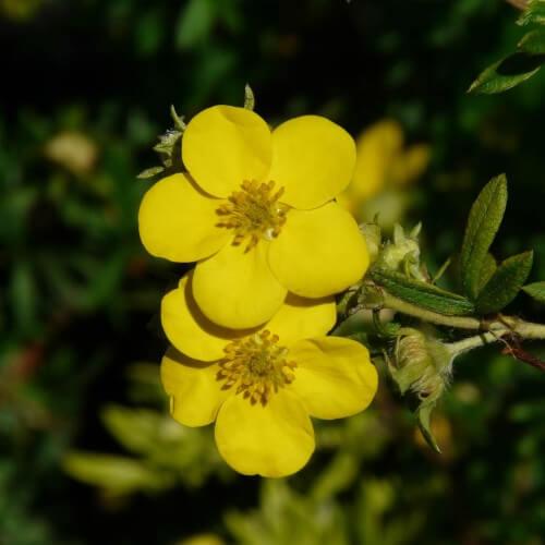 Potentille (Potentilla Fruticosa)