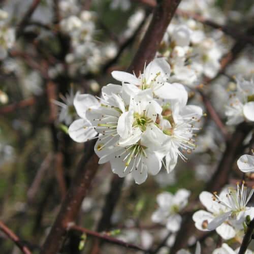 Prunier myrobolan (Prunus cerasifera-myrobolana)