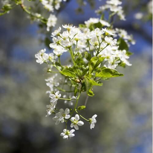 Cerisier Sainte Lucie (Prunus Mahaleb)