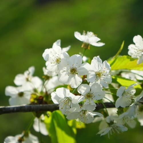 Merisier commun ou Merisier des oiseaux (Prunus avium)