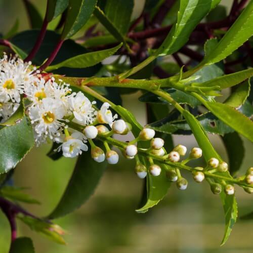 Laurier du Portugal (Prunus Lusitanica)