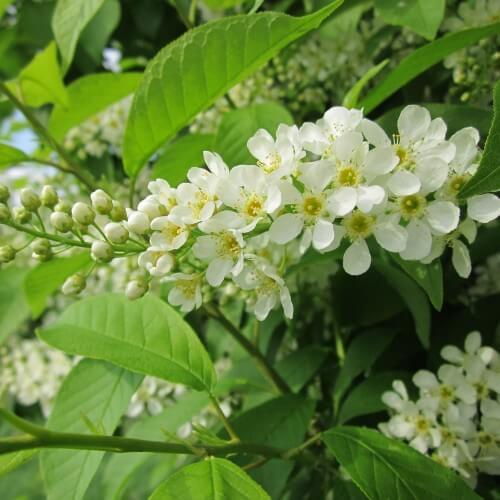 Cerisier à grappes (Prunus Padus)