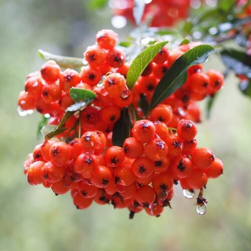 Pyracantha (pyracantha ventoux red)